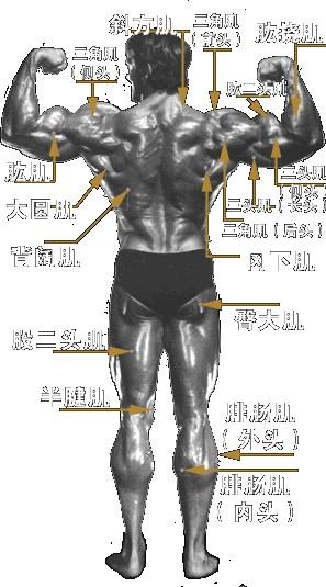 背部肌肉分布_全身肌肉分布及训练方法